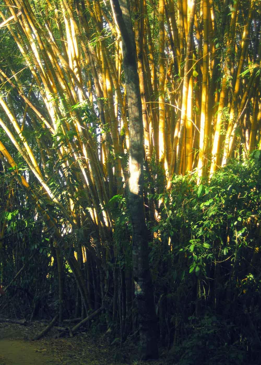 Mega bamboo near Pouso