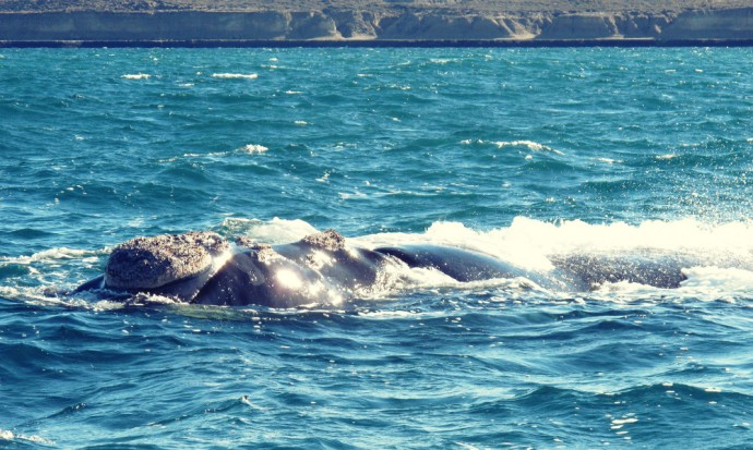 A whale comes near our boat, Puerto Madryn
