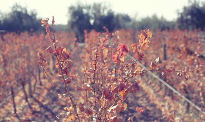 Vineyard at Tempus Alba