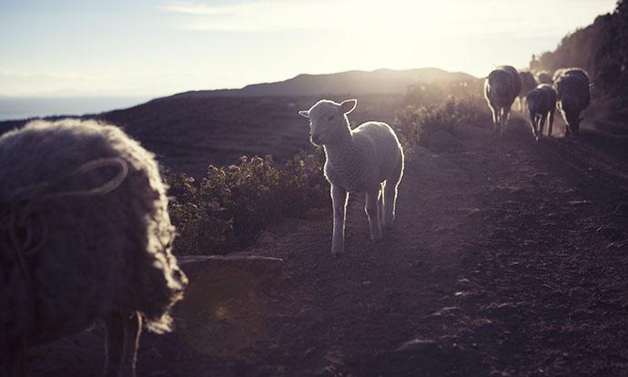 Lamb on isla del sol