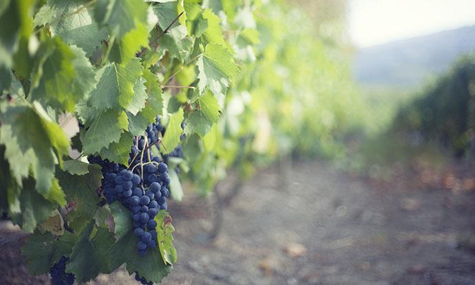 The grapes that make Douro wine