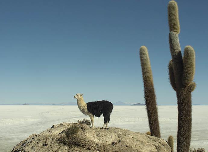 llama and salt flats