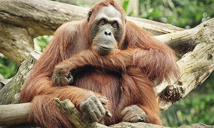 Orangutan in Continuum