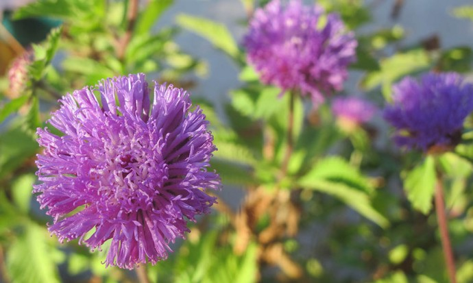 Purple pom pom flower