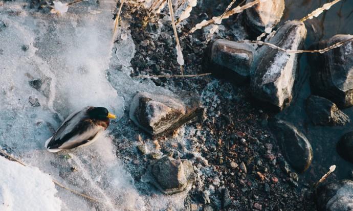 ducks in Helsinki