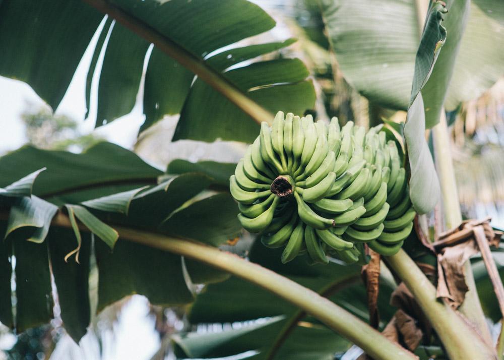 Bananas in Alleppey backwaters
