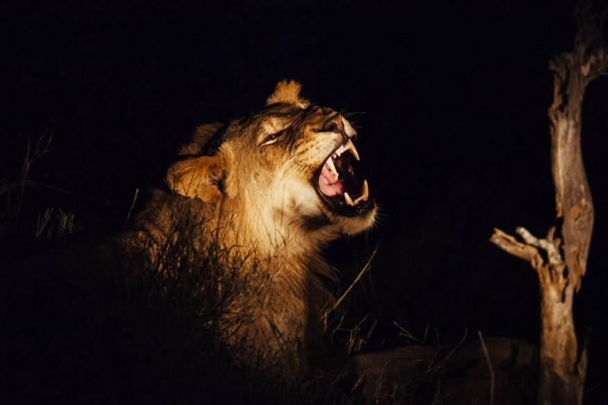 Lion yawning, Makanyi
