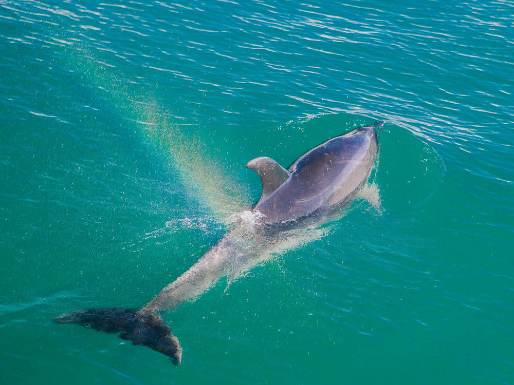 New Zealand road trip - dolphins at Bay of islands