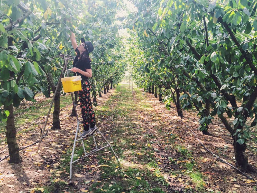 New Zealand trip - fruit picking in Cromwell