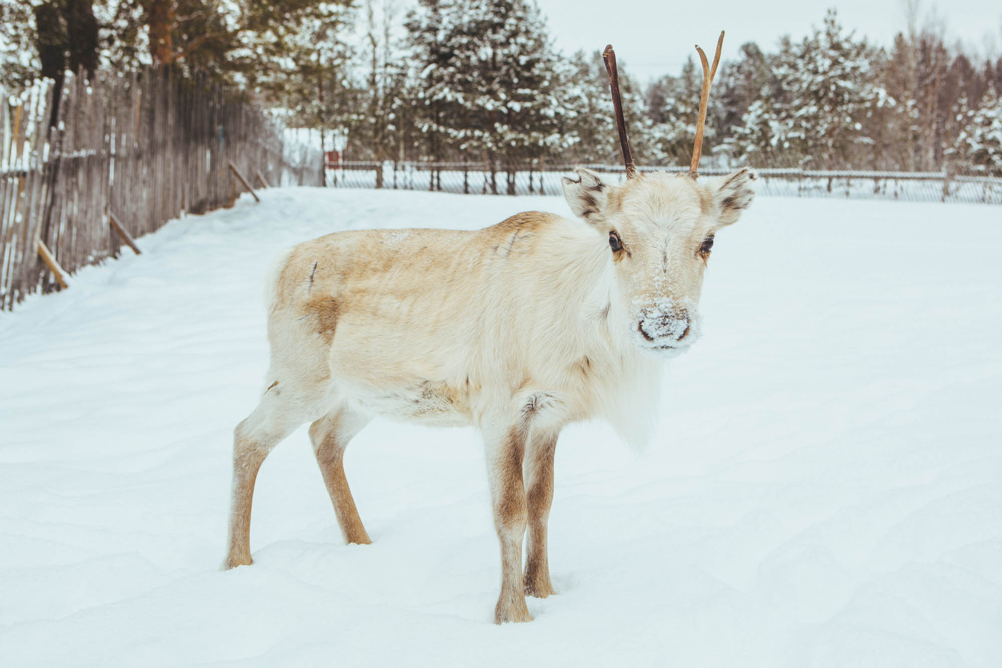 Jaakkola Reindeer Farm - 5-day Finland itinerary Northern Lights