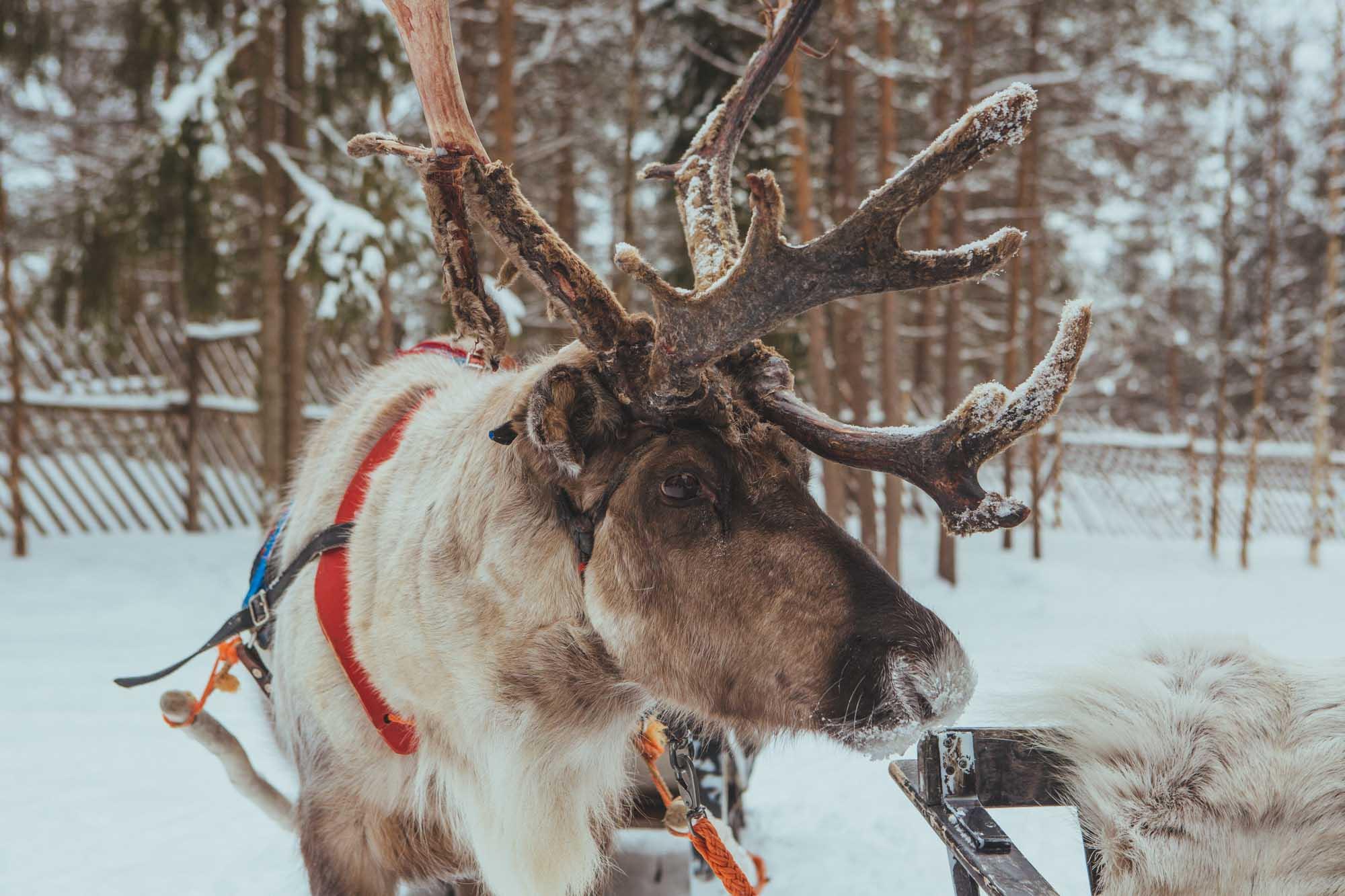 Lapland holiday tips - Jaakkola reindeer farm