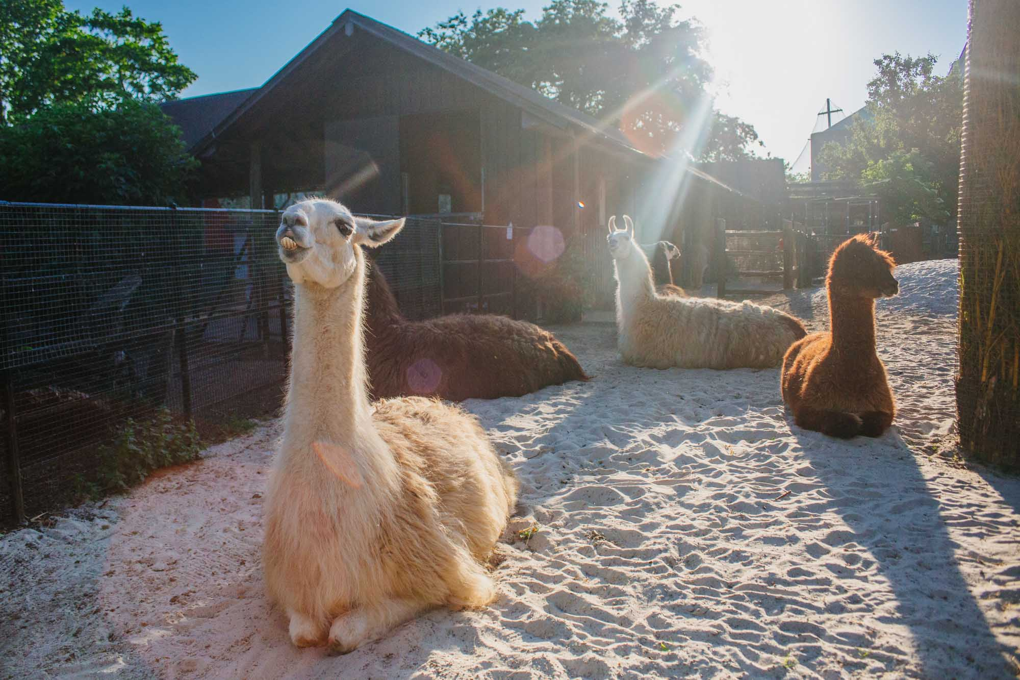 London Zoo - Alpacas