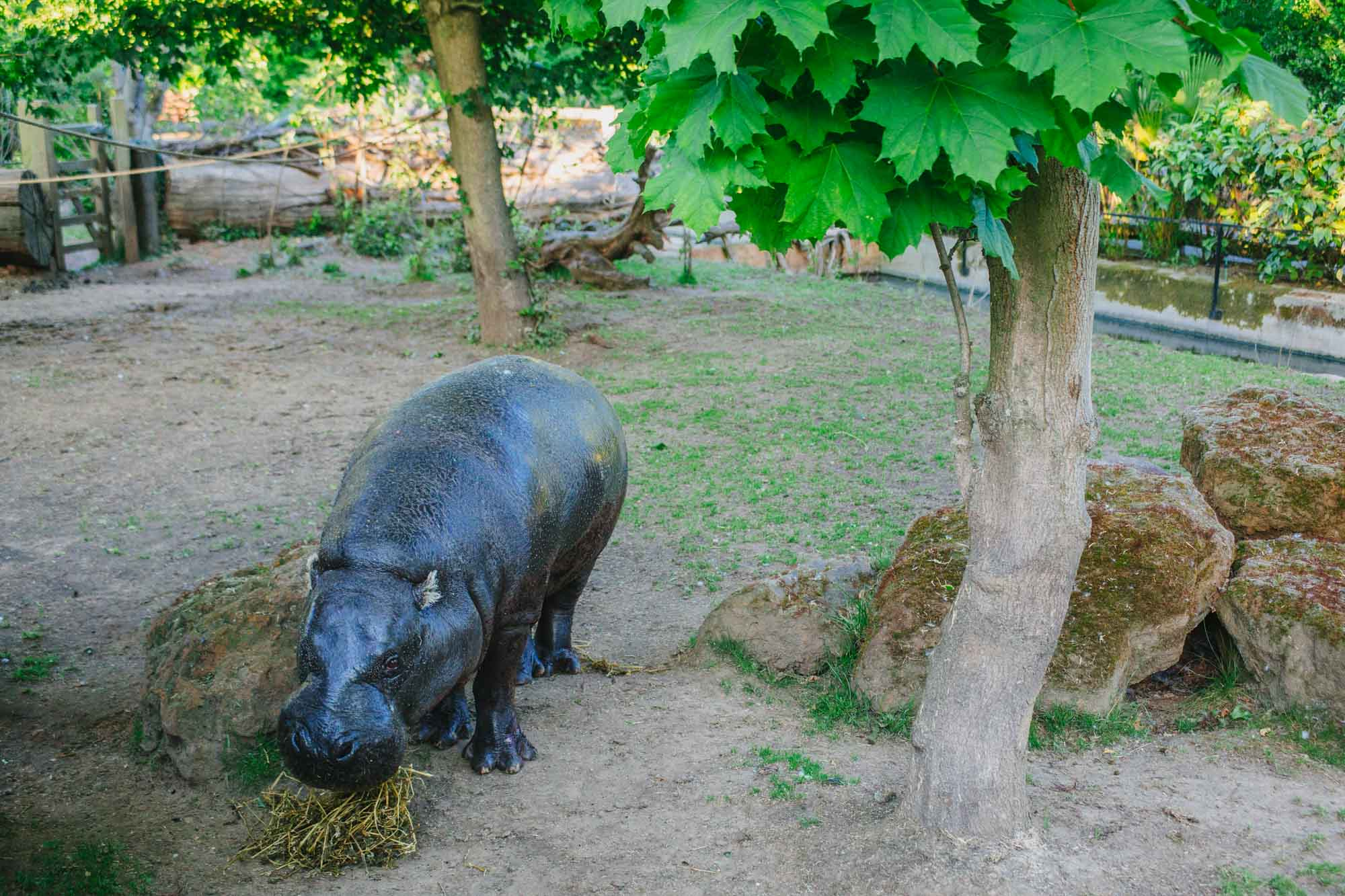 London Zoo - Pygmy Hippos
