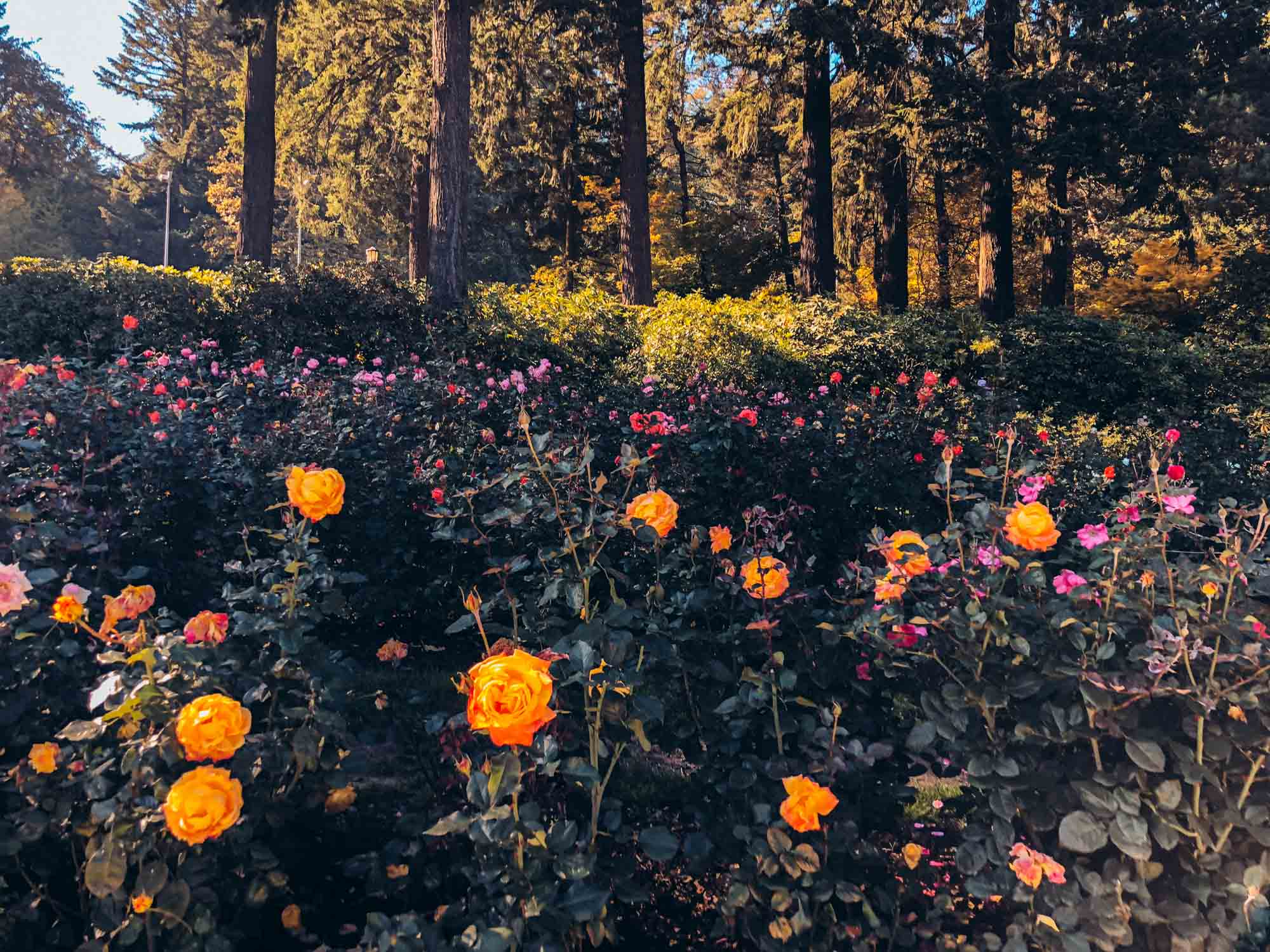 Best things to do in Portland: International Rose Test Garden